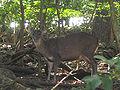 Red Brocket Deer in Barbados 02