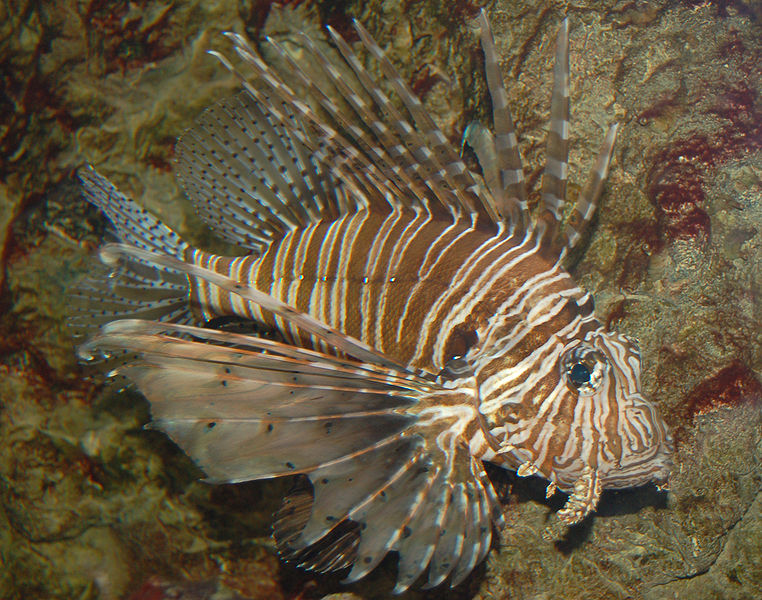 Full resolution ‎ Red Lionfish Pterois volitans Left Side 2460px.jpg