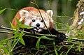 Red Panda (24390681822).jpg