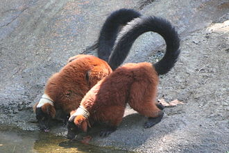 Red ruffed lemur - A pair of red ruffed lemurs drinking