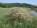 Red Star-thistle - Centaurea calcitrapa - growing by the Cuckmere River - geograph.org.uk - 1167025.jpg