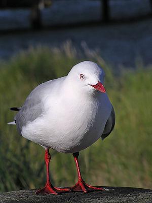 Red billed gull (Larus scopulinus) in Wellington Harbour