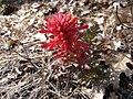 Red mountain flower.jpg