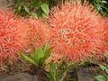 Red street flower 3.JPG