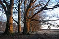Red sunshine at massive beechtrunks at Hoge Veluwe National Park Schaarsbergen - panoramio.jpg