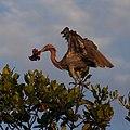 Reddish Egret (41273011824).jpg