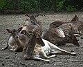 Relaxte Damhirsche Tierpark Bretten.JPG