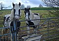 Reservoir horses - geograph.org.uk - 619198.jpg