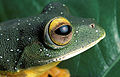 Rhacophorous malabaricus.jpg