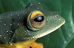Malabar gliding frog - Close-up of snout