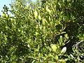 Rhamnus alaternus, lower, Meiringskloof, a.jpg