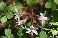 Rhododendron atlanticum Choptank 0zz.jpg