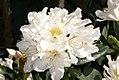 Rhododendron caucasicum x Ponticum album Cunninghams White 0zz.jpg