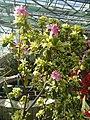 Rhododendron cv. Kiev Grishko 20.jpg