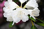 Rhododendron subg. Hymenanthes (26182087103).jpg