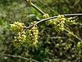 Rhus aromatica 2019-04-16 0239.jpg