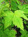 Ribes japonicum 3.JPG