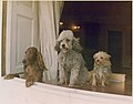 Richard M. Nixon's dogs looking out a window of the White House - NARA - 194337.jpg