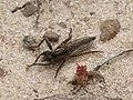 Robberfly Asilidae (32102950400).jpg