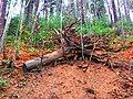Root - panoramio.jpg