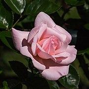 Rosa. Onbenaamde cultivar (actm) 04.jpg