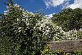 Rosa 'Rambling Rector' at Boreham, Essex, England.jpg