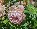 Rosa 'Tamora' in Dunedin Botanic Garden 02.jpg