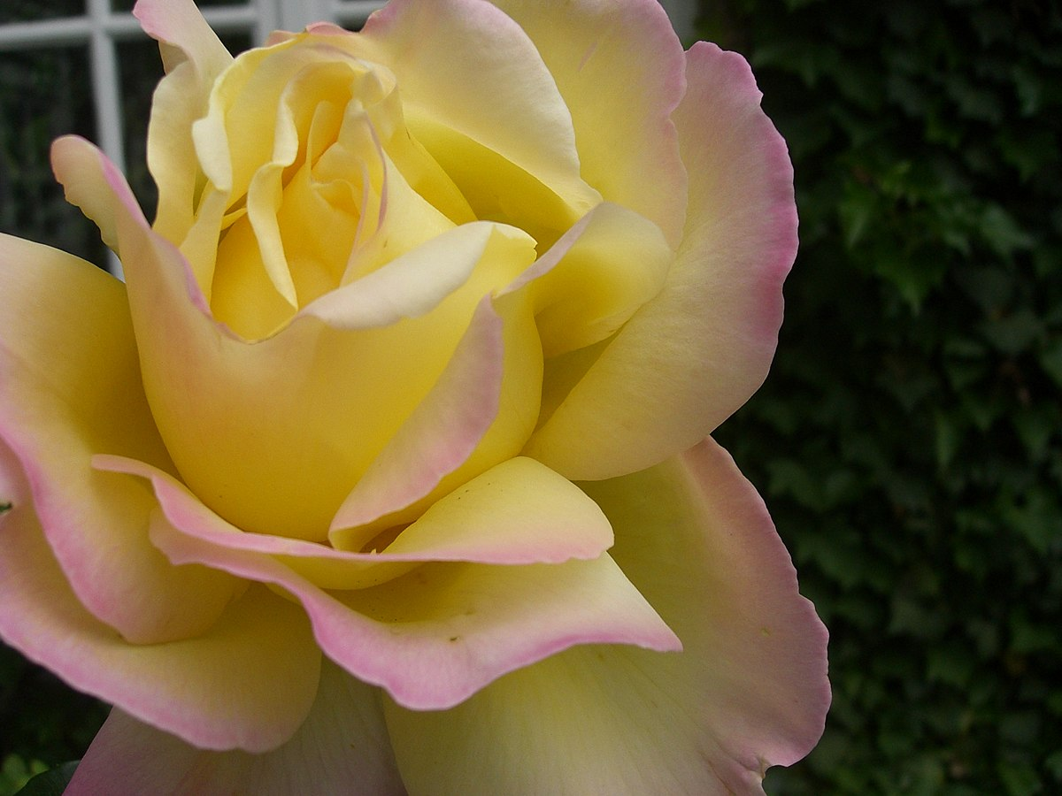 hybrid tea rose wikipedia