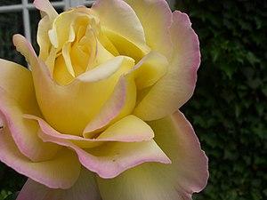 Rosa 3465.JPG