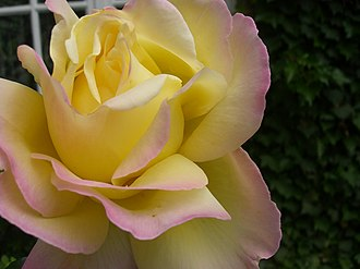Hybrid tea rose - Image: Rosa 3465