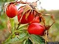 Rosa canina fruit (48).jpg
