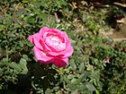 Rosa chinensis (2).JPG