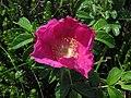 Rosa rugosa Sakhalin 1.JPG