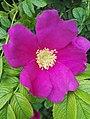Rosa rugosa inflorescence (19).jpg