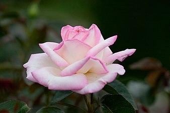 Rose, Princess de Monaco.jpg