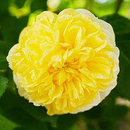 Rose, Yellow Button, バラ, イエロー ボタン, (14540133533).jpg