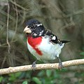 Rose-breasted Grosbeak (7093899679).jpg