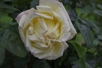 Rose Antoine-Meillard 01.JPG