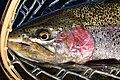 Rosy cheeked rainbow trout on Seedskadee National Wildlife Refuge (37755737551).jpg