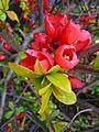 Rote Blüten Japanische Zierquitte.JPG
