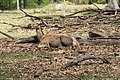 Rothirsch im Wildpark Betzenberg.jpg