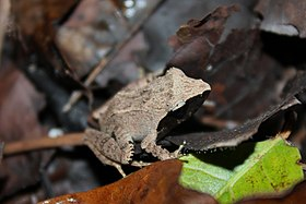 Rough-backed Forest Frog (Platymantis corrugatus)9.jpg