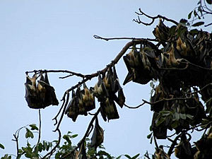 Ebola virus epidemic in Sierra Leone - Fruit bats gather on a tree in West Africa.