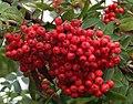 Rowan Berries - geograph.org.uk - 522519.jpg