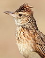 Rufous-naped Lark, Mirafra africana at Pilanesberg National Park, South Africa (10478666505).jpg