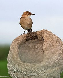 220px Rufous Hornero %28Furnarius rufus%29 on incomplete nest Flickr Lip Kee