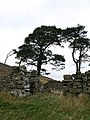 Ruined croft and pine trees, Torbank Hill - geograph.org.uk - 590707.jpg
