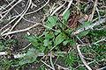 Rumex crispus basal whorl 001.JPG