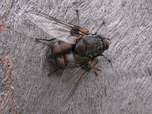 Rutilia sp ACT Australia 8-JAN-2012.JPG