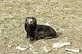 SGI-2016-South Georgia (Fortuna Bay)–Antarctic fur seal (Arctocephalus gazella) 01.jpg